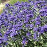 Caryopteris-Heavenly-Blue1.jpg