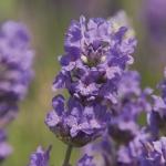 Cedar_Blue_flower_964_x_724.jpg