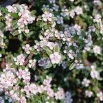Cotoneaster_dammeri__Coral_Beauty_2.jpg