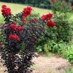 Ebony-Flame-Tree.jpg