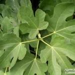 Ficus_carica_Brown_Turkey.jpg