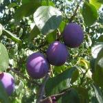 Fruits_Prunus_domestica.jpg