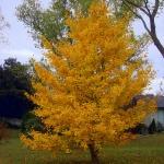 Ginkgo-biloba-leaves-in-Fall-MGBlog.jpg