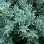 Juniperus-squamata-Blue-Star2.jpg