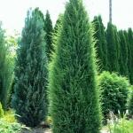 Juniperus_communis_Hibernica.jpg