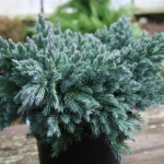 Juniperus_squamata_Blue_Star.jpg