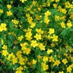 Kerria_japonica_Golden_Guinea_(2).JPG