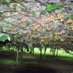 Kiwifruit-Actinidia_deliciosa-plantation.jpg
