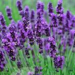 Lavender_Hidcote.jpg