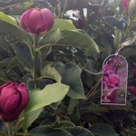 Magnolia-Genie.jpg