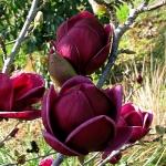 Magnolia_Genie_gr.jpg