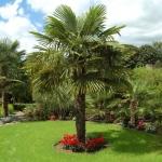 Palmera-Fortune-verde-jardin.jpg