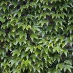 Parthenocissus_tricuspidata.jpg