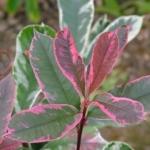 Photinia-cassini-Pink-Marble.jpg