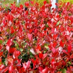Photinia_Fraseri_Purple_Peter_011.jpg