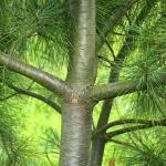 Pinus_Wallichiana_(Bhutan_Pine)_22011_07_.jpg