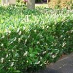 Prunus_laurocerasus_Otto_Luyken_-_05.JPG
