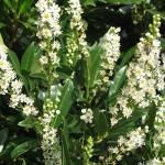 Prunus_laurocerasus_Otto_Luyken_Lorbeerki.jpg
