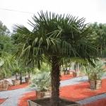 Trachycarpus-fortunei-5-e1330021908443.jpg