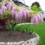 Wisteria-floribunda-Rosea-enlarge.jpg