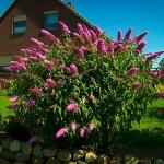 bud_pink-delight-butterfly-bush.jpg