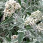 buddleia_silver_anniversary.png
