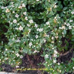 cotoneaster-1-image_galerie_gross.jpg