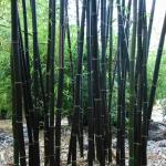Fekete bambusz (Phyllostachys nigra)