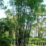 fekete_bambusz2.jpg