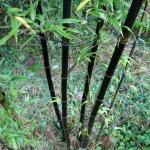 fekete_bambusz3.jpg