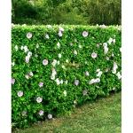 hibiscus-syriacus-50-cm-600x600.jpg