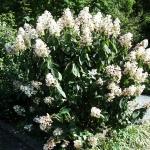 hof-070-botanischer-garten-hydrangea-pani.jpg