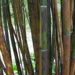 """Phyllostachys nigra """"Boryana"""" (Kínai leopárdfoltos bambusz)"""