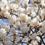 magnolia-alba-superba.jpeg