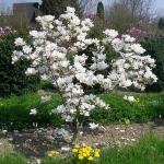 magnolia_alba1.jpg