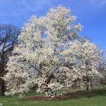 magnolia_kobus_borealis_90.JPG