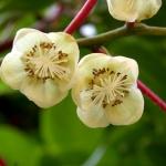 mini-kiwi-bloem-issai.jpg