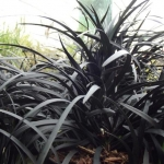 ophiopogon-black-beard.jpg