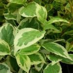 philadelphus-coronarius-variegata.jpg