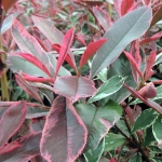 photinia-pink-marble_lg.jpg