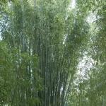 pirosszelu_bambusz2.jpg