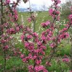 sadnica-jabuke-baya-marisa-exluzivno-crve.jpg