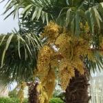 trachycarpus_fortunei_I17129P95248.jpg