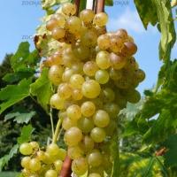 Franziska rezisztens csemegeszőlő