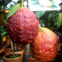 Piros citrom