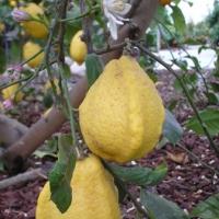 """Citrus limon """"Bizzarro"""""""