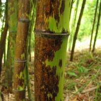 Kínai leopárdfoltos bambusz