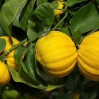 "Citrus limon ""Mellarosa"""