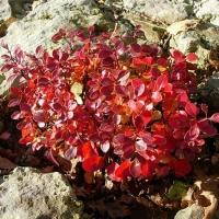 Törpe ,gömb Japán borbolya
