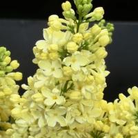 Sárga virágú kerti orgona